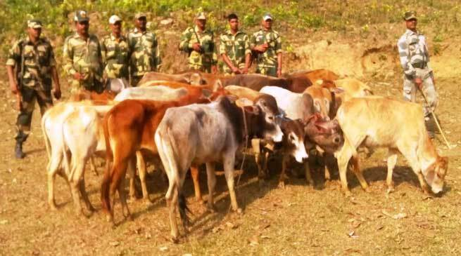 cattle seized 1